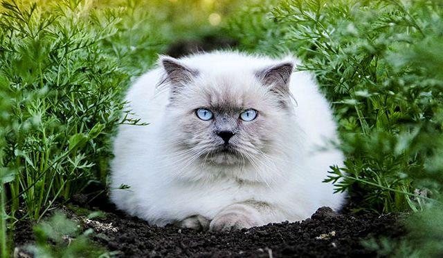 Гималайская кошка светлого окраса