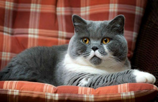 Характер и повадки британских кошек
