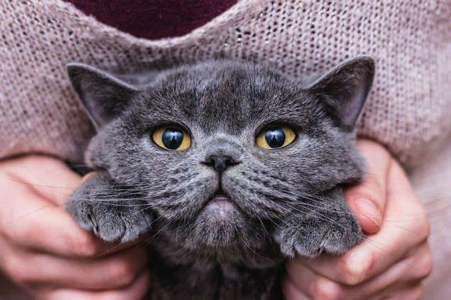 Повадки британских кошек