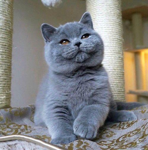 Воспитание британских кошек