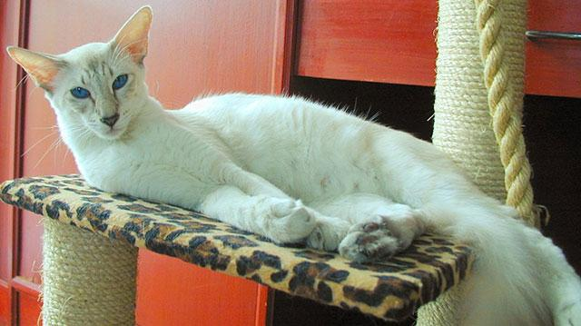 Белая яванская кошка