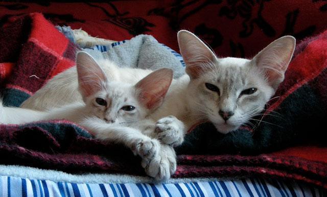 Яванская кошка с котенком