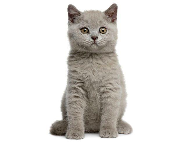 Как назвать котенка британца