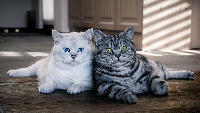 Как отличить британских котят
