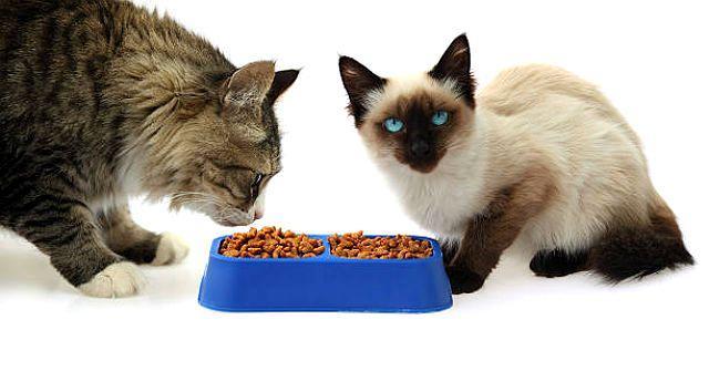 Кормление сиамского котенка