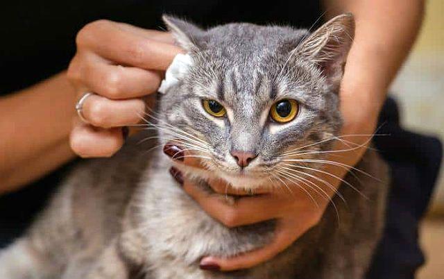 Как почистить уши кошке
