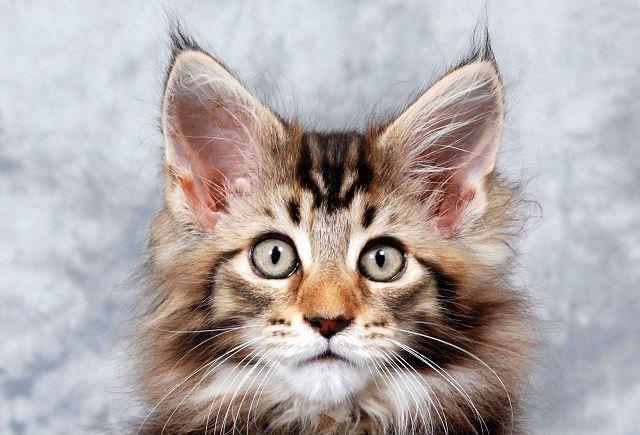 Как правильно почистить уши кошке