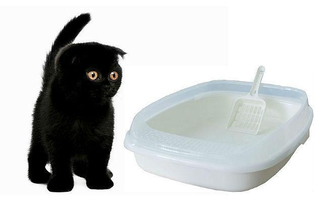 Как приучить шотландского котенка к лотку