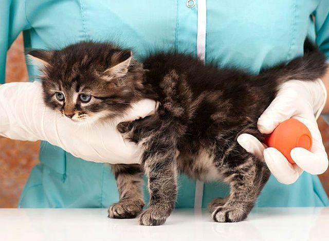 Как сделать клизму котенку