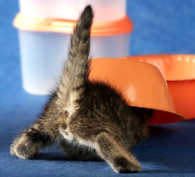 Как сделать клизму при запоре у котенка