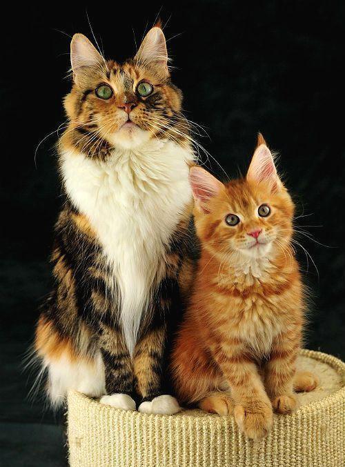 Где покупать котенка мейн-куна