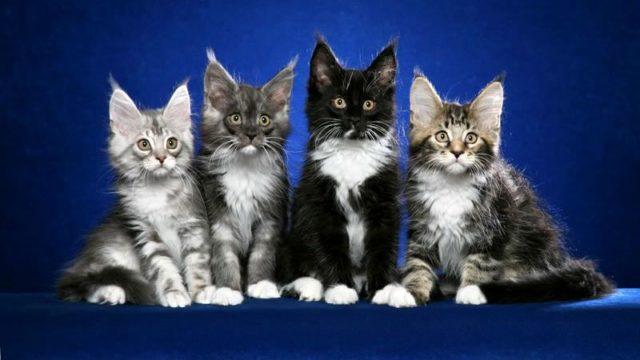 Как выбрать котенка мейн-куна - главное фото
