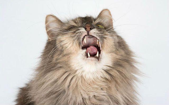 Коронавирус у кошек - сиптомы