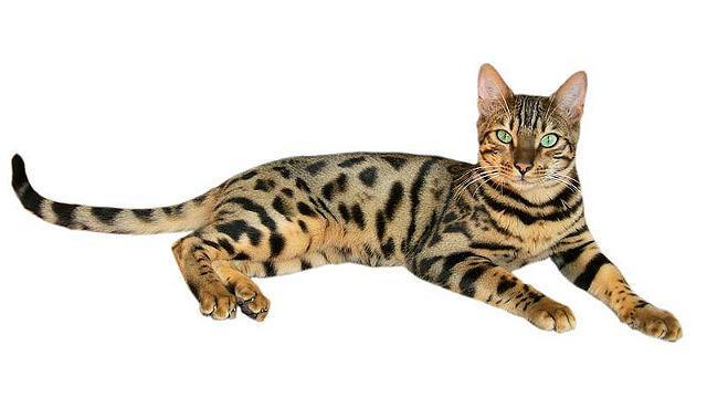Кошка браун табби