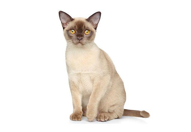 Бурманская светлая кошка