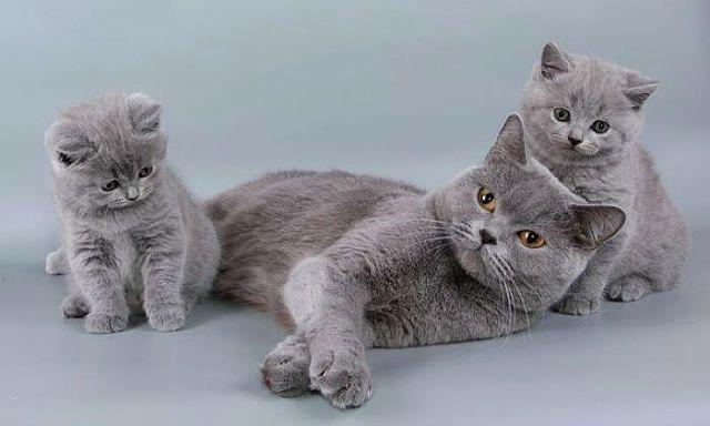 Кошка и котята британцы