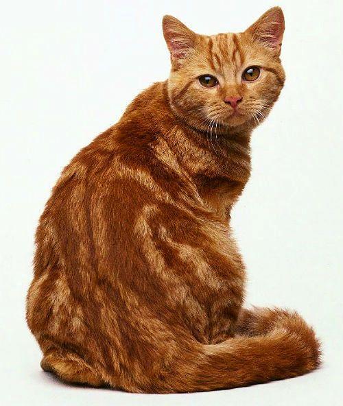 Кошка красный табби