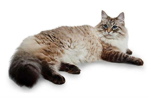 Кошка сибирская с голубыми глазами