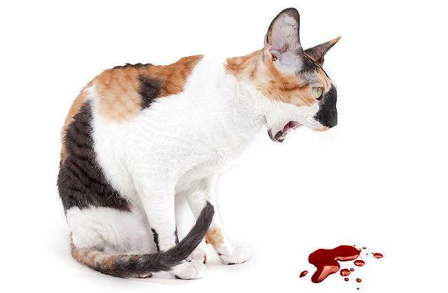 Кот блюет кровью
