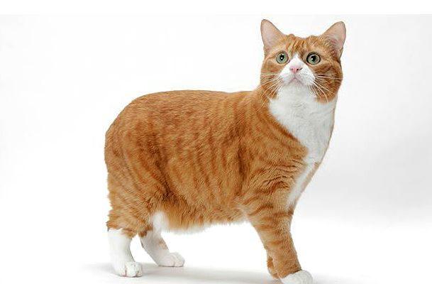 Мэнская кошка - вид сбоку
