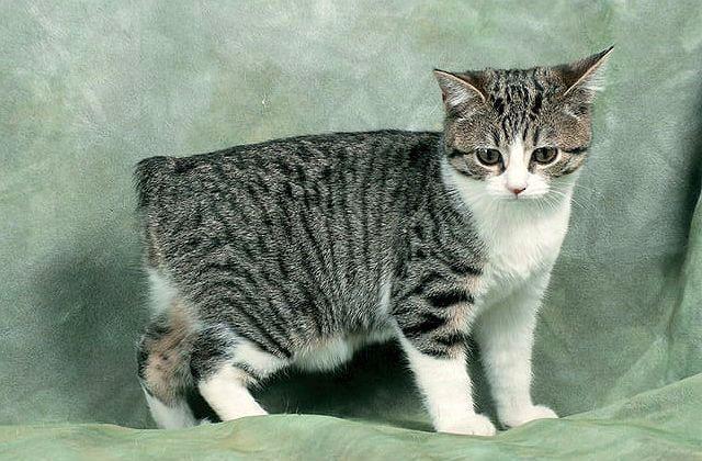 Мэнская кошка - выбор котенка
