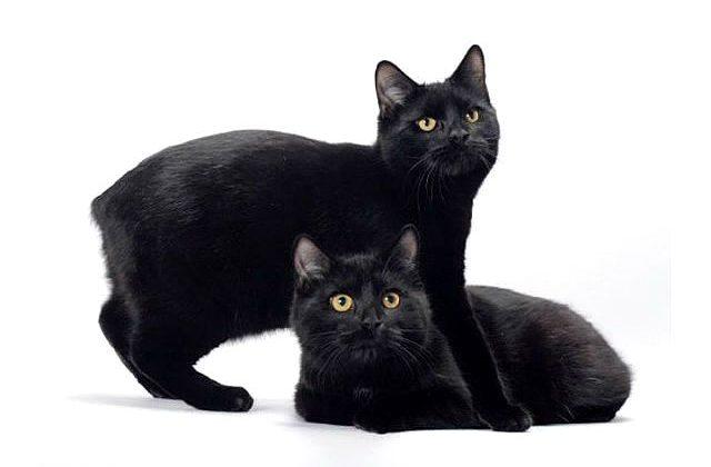 Мэнская кошка черная