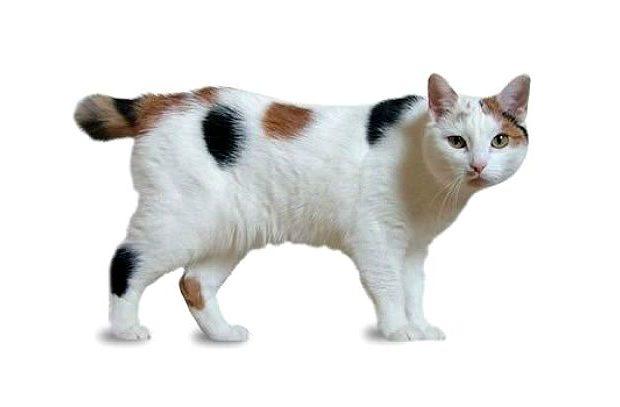 Мэнская кошка светлая