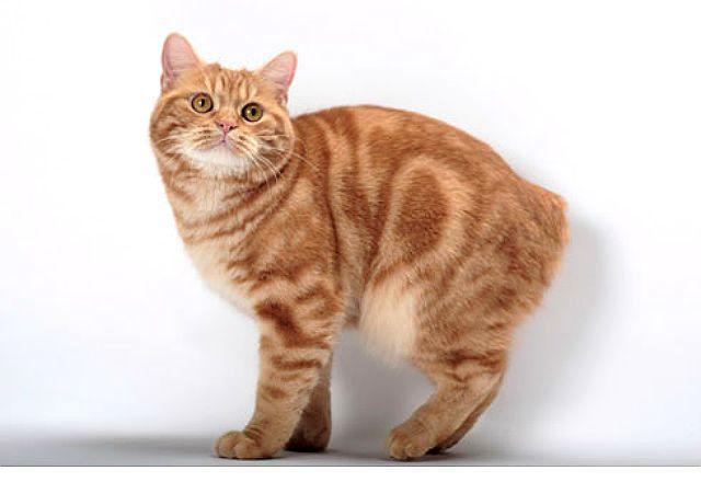 Мэнская кошка рыжая