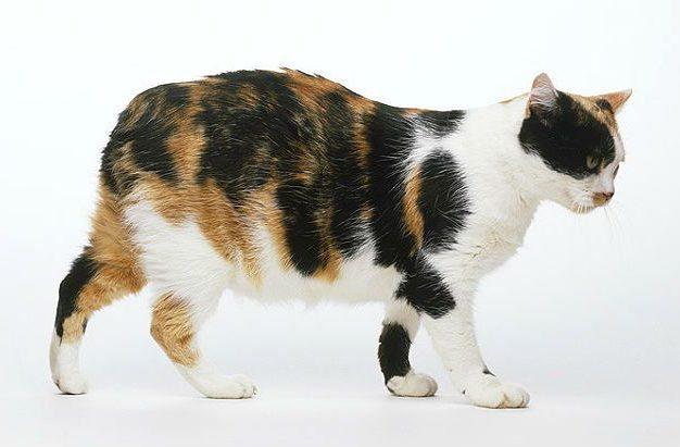 Мэнская кошка трехцветная