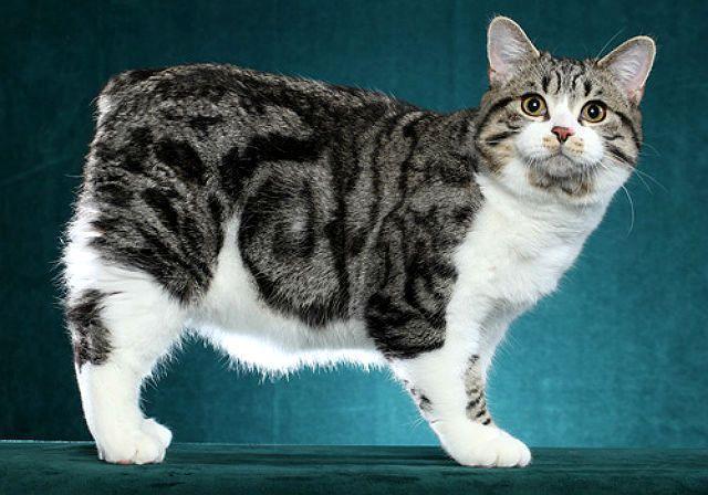 Мэнская кошка - анатомия