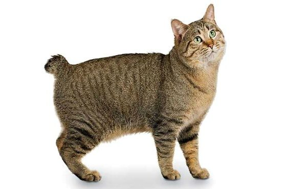 Мэнский котик