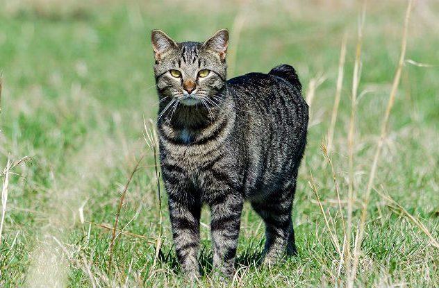 Мэнская кошка на прогулке