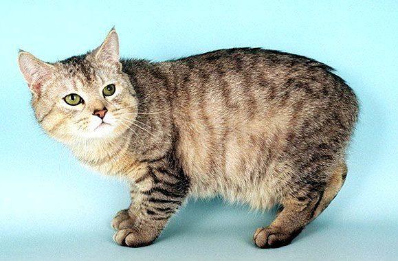 Мэнская кошка на голубом фоне