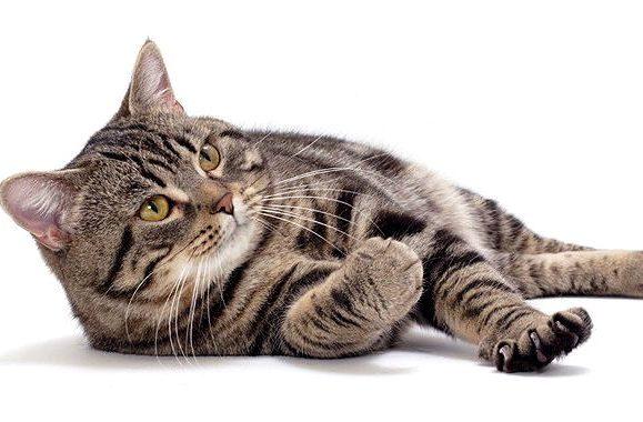Мэнская кошка лежит