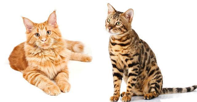 Метис мейн-куна и бенгальской кошки