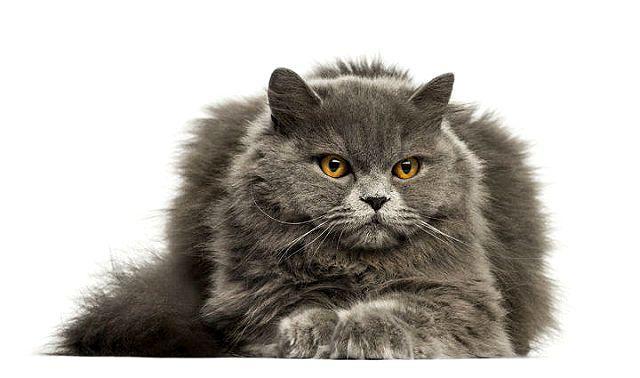 Метис мейн-куна и британской кошки