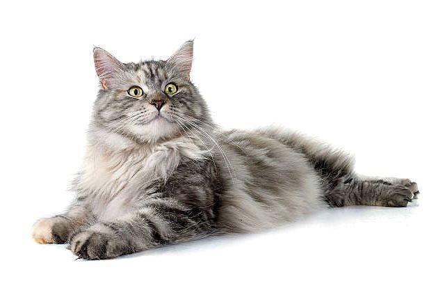 Метис мейн-куна и обычной кошки