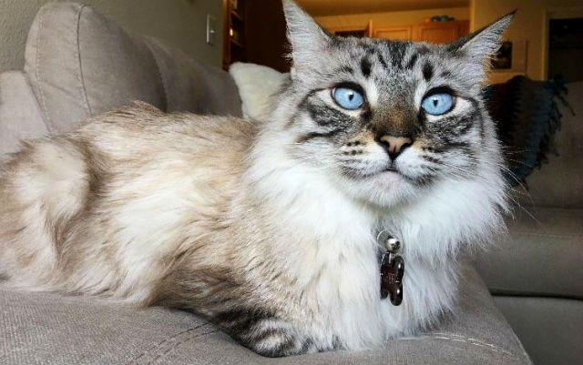Метис мейн-куна и сиамской кошки