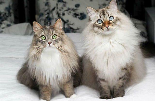 Метис мейн-куна и сибирской кошки