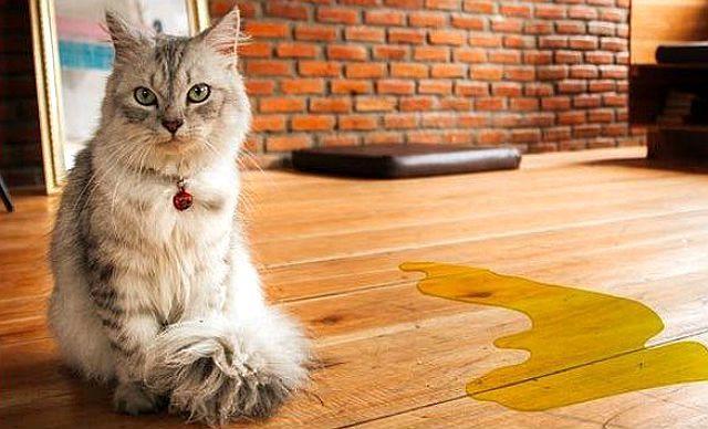 Признаки мочекаменной болезни у котов
