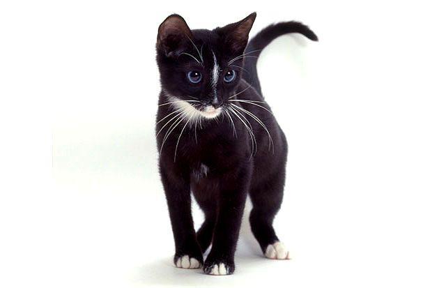 Кошка Охос азулес (голубоглазка)