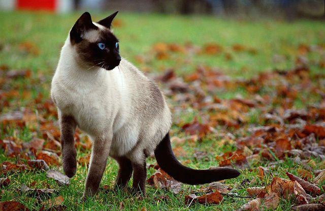 Осложнения после прививки от бешенства у кошек - хромота