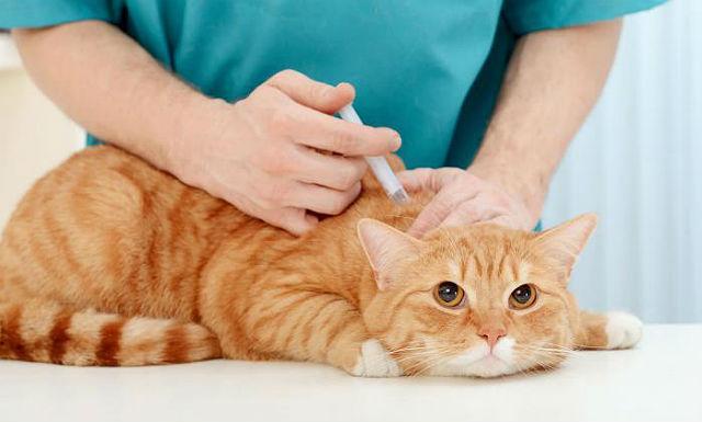Местные воспалительные реакции после прививки от бешенства у кошки
