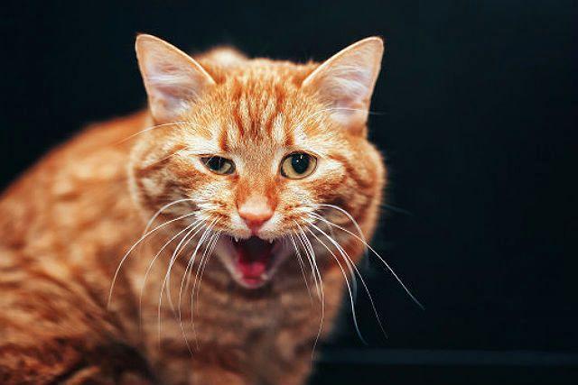 Механизм кашля у кота