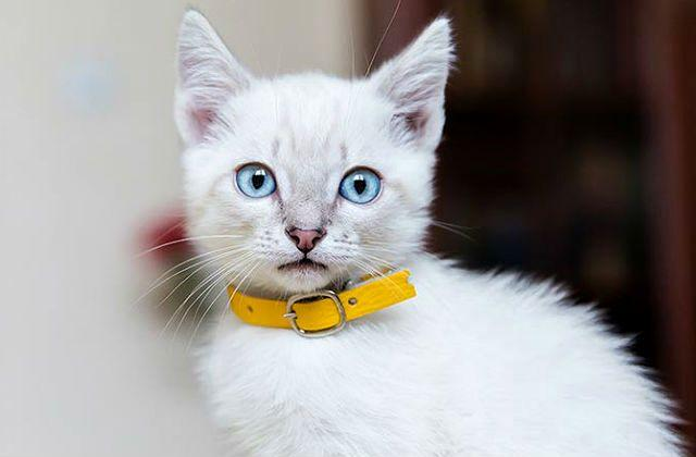 Противопаразитарный ошейник для котенка