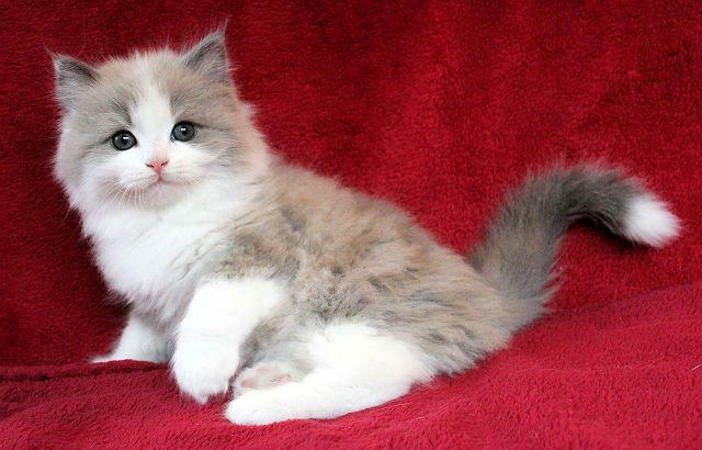 Рагамаффин - выбор котенка