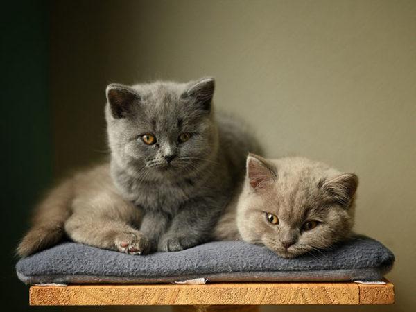 Котята скоттиш-страйт