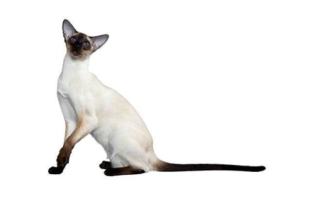 Сиамская кошка - вид сбоку