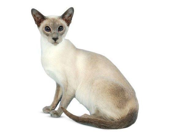 Сиамская кошка сидит