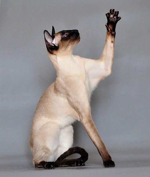 Сиамская кошка - характер
